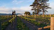 Vinyard, Marlborough, South Island, New Zealand