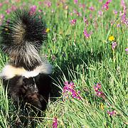 Striped Skunk, (Mephitis mephitis) Portrait of adult. Montana. Captive Animal.  .St