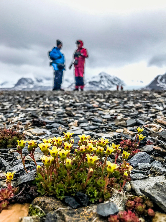 Diapensia (Diapensia lapponica) survives Arctic winter by protecting itself with semi-spherical form, deep roots, dense growth and hard, wax-covered and evergreen leaves.