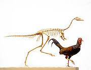 Mononykus, found in the Gobi Desert of Mongolia was considered a primitive bird.