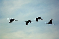 Sandhill cranes flying in blue morning sky during winter migration, Merced National Wildlife Refuge, Central Valley, California