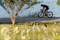 Red-winged blackbird in field of wildflowers and Arkansas yucca (Yucca arkansana) in front of cyclist on hike and bike path, Blackland Prairie remnant, White Rock Lake, Dallas,Texas, USA