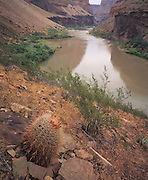 Fishhook barrel cactus (Ferocactus wislizenii) with Colorado River behind near Whitmore Wash (river mi 188), Grand Canyon Natl. Park, Arizona..Subject photograph(s) are copyright Edward McCain. All rights are reserved except those specifically granted by Edward McCain in writing prior to publication...McCain Photography.211 S 4th Avenue.Tucson, AZ 85701-2103.(520) 623-1998.mobile: (520) 990-0999.fax: (520) 623-1190.http://www.mccainphoto.com.edward@mccainphoto.com.
