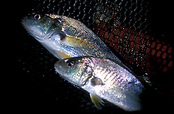 Stock photo of Golden Croaker (Umbrina roncador) bait fish