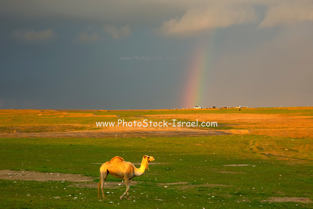 A lone Dromedary or Arabian Camel (Camelus dromedarius) walking in the desert a dusk. A rainbow can be seen in the background. Photographed in the Negev Desert, Israel