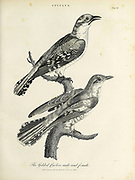 Cuculus [cuckoos] Gilded Cucoo male and female Copperplate engraving From the Encyclopaedia Londinensis or, Universal dictionary of arts, sciences, and literature; Volume V;  Edited by Wilkes, John. Published in London in 1810