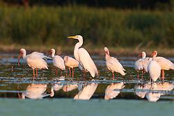 White ibis and great egretLemon Lake, Great Trinity Forest near Trinity River, Dallas, Texas, USA.