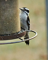 Downy Woodpecker (Dryobates pubescens).  Image taken with a Nikon D850 camera and 200-500 mm f/5.6 VR lens