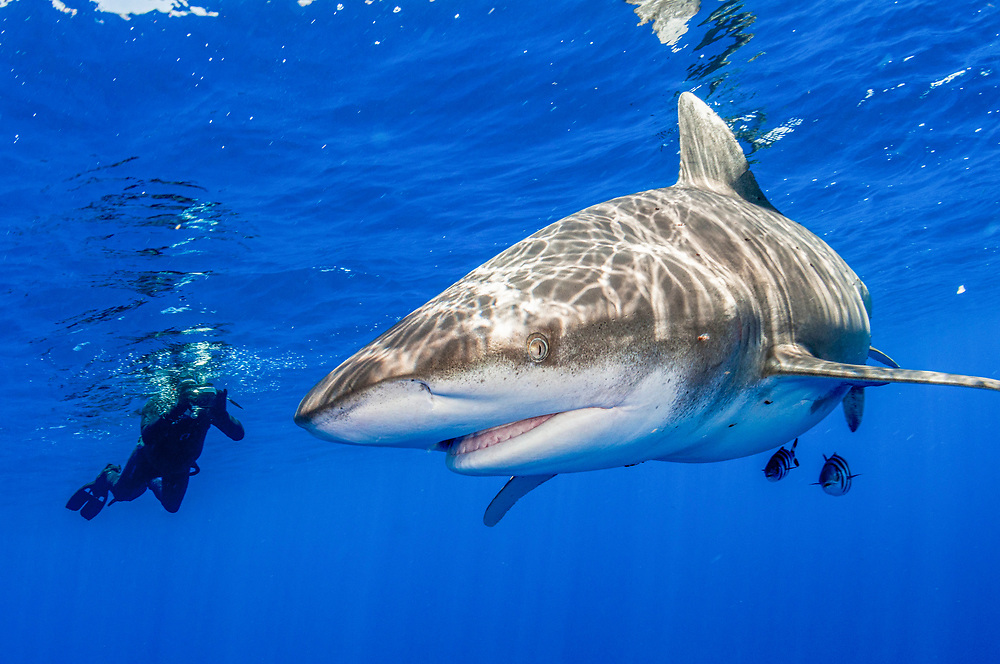 Oceanic whitetip shark (Carcharhinus longimanus) and snorkeler with camera off Cat Island, Bahamas.