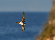 Alpine Swift - Apus melba