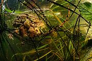Common toad (Bufo bufo) with in strings of toadspawn | Erkröten-Paar (Bufo bufo) beim Laichen, die schwarzen Punkte sind die Eier in der Laichschnur
