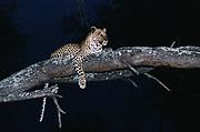 Leopard in Tree<br />Panther pardus<br />Okavango Delta, BOTSWANA<br />RANGE: Africa to India