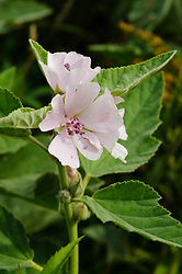 Echte heemst, Althaea officinalis