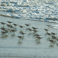 A large flock of Sanderlings (Calidris alba) scampers back in front of waves while feeding on a beach near Pescadero, California.
