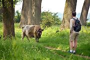 Nederland, Ooij, 4-6-2016Galloway runderen in de Ooijpolder, Millingerwaard.  De wilde runderen zijn uitgezet in natuurgebieden door heel Nederland en doen het goed. Soms worden ze uitgezet in Oost-europa . Hier bij de bisonbaai hebben zij een vluchtplek bij hoog water . Zij kunnen goed in het gezelschap zijn van mensen, als ze met rust gelaten worden met name als er kalveren bij zitten.Foto: Flip Franssen/Hollandse Hoogte
