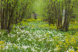 The Nuttery at Sissinghurst Castle Garden in spring. Euphorbia amygdaloides var. robbiae and Hyacinthoides non-scripta 'Alba' in the foreground. White Bluebell, Wood Spurge