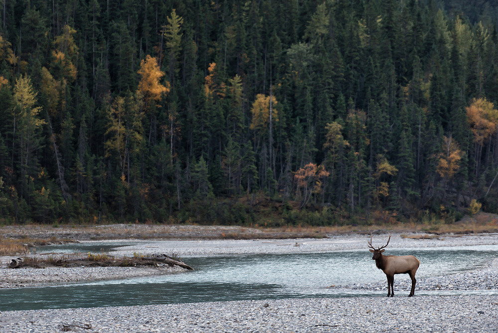 A bull elk pauses along the Bow River, British Columbia.