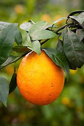 Citrus Orange 'Navel'