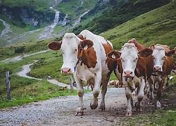 THEMENBILD - Kühe auf der Alm. Die bewirtschaftete Alm, wo rund 800 Schafe und 55 Milchkühe im Sommer sind, besteht seit dem Jahre 1779 und wird von der Familie Aberger Dick geführt. Sie liegt unmittelbar bei den Kapruner Hochgebirgsstauseen, aufgenommen am 09. August 2018, Kaprun, Österreich // Cows on the pasture. The farmed pasture, where about 800 sheep and 55 dairy cows are in summer, has existed since 1779 and is run by the Aberger Dick family. It is located directly at the Kapruner high mountain reservoirs on 2018/08/09, Kaprun, Austria. EXPA Pictures © 2018, PhotoCredit: EXPA/ Stefanie Oberhauser