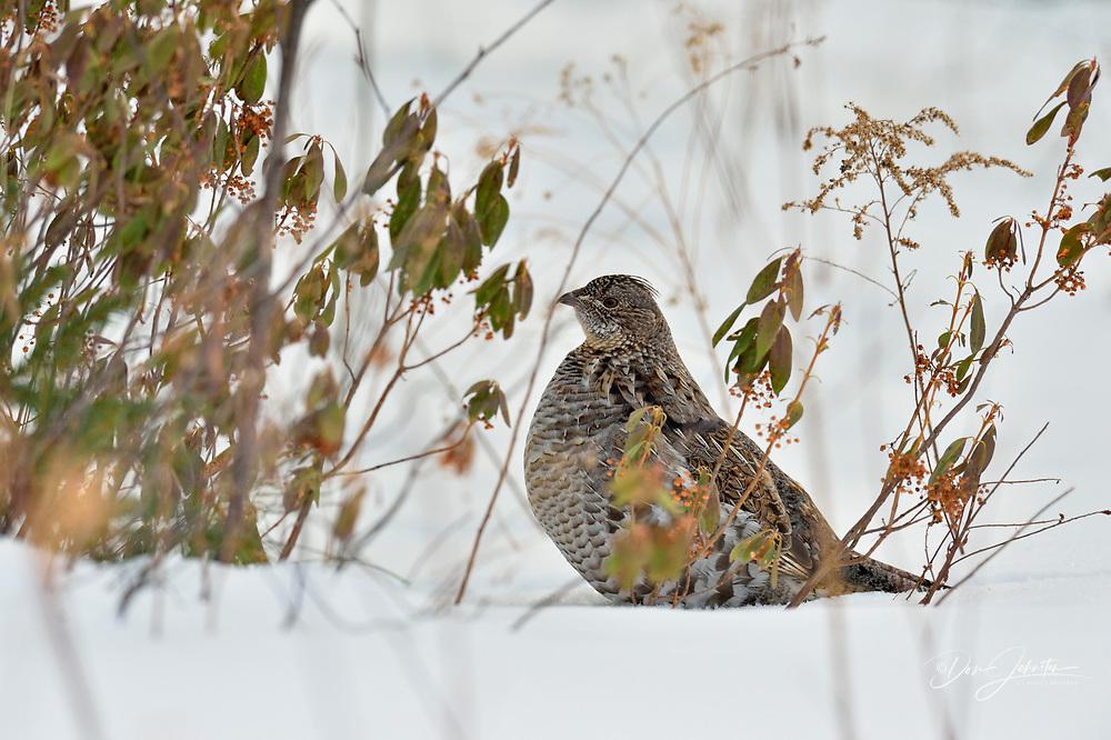 Ruffed grouse (Bonasa umbellus), Greater Sudbury (Lively), Ontario, Canada