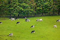 Cows grazing in field, Isle of Arran Scotland