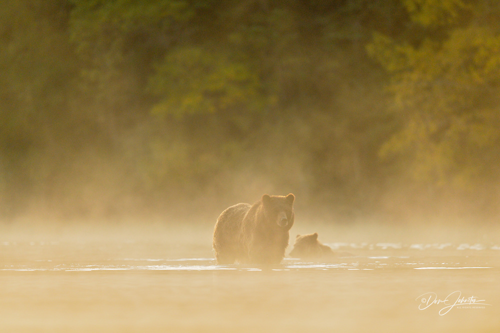 Grizzly bear (Ursus arctos)- Hunting spawning sockeye salmon with cubs in a salmon river, Chilcotin Wilderness, BC Interior, Canada