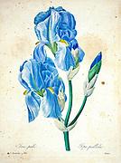 19th-century hand painted Engraving illustration of a Sweet Iris. Iris pallida. by Pierre-Joseph Redoute. Published in Choix Des Plus Belles Fleurs, Paris (1827). by Redouté, Pierre Joseph, 1759-1840.; Chapuis, Jean Baptiste.; Ernest Panckoucke.; Langois, Dr.; Bessin, R.; Victor, fl. ca. 1820-1850.