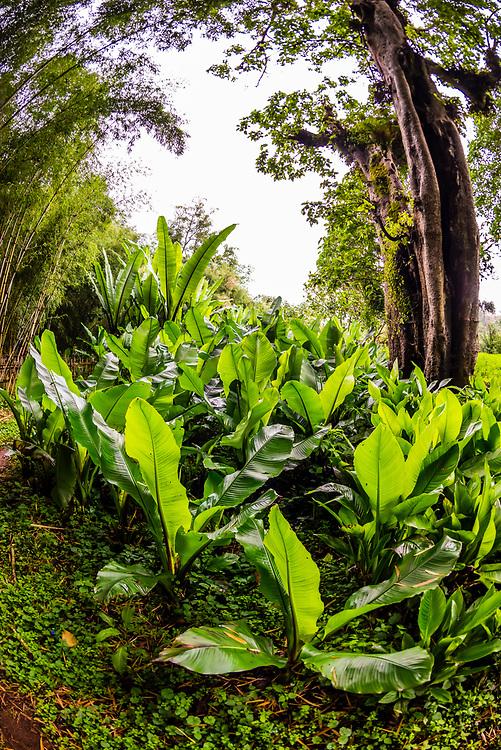False banana leaves, Dorze, Ethiopia.