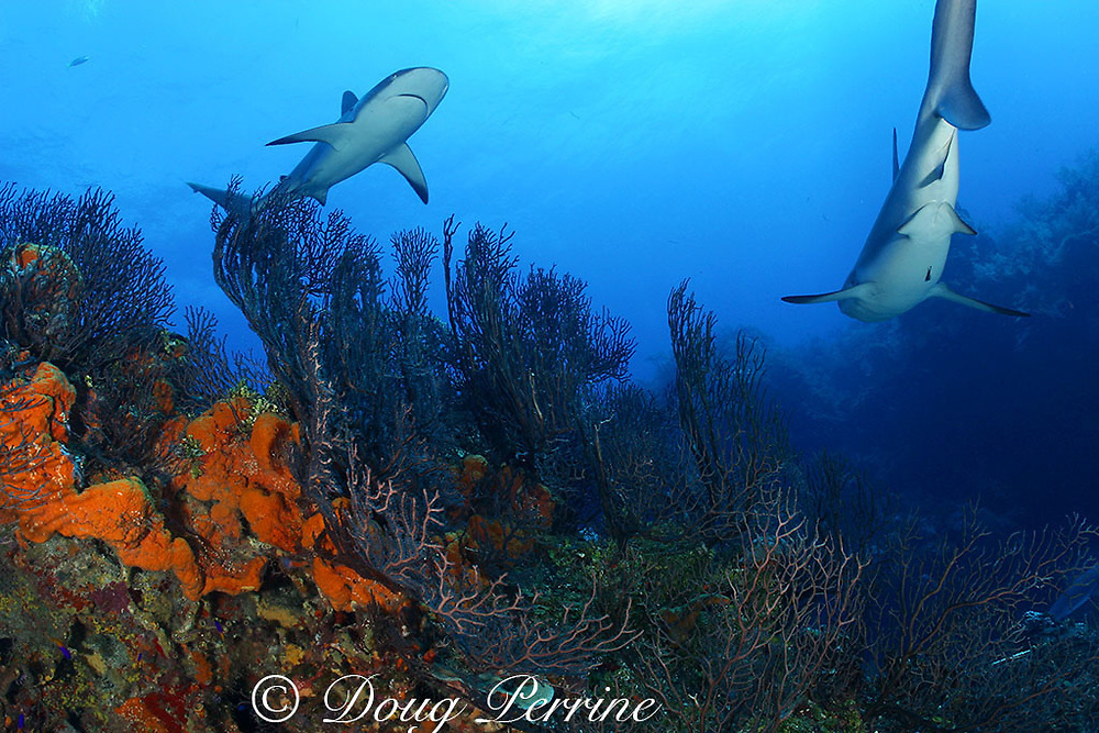 Caribbean reef sharks, Carcharinus perezi, on coral reef with orange elephant ear sponges, Agelas clathrodes, Bahamas ( Western Atlantic Ocean )