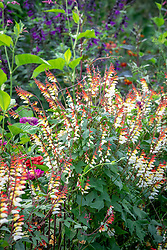 Ipomoea lobata syn. Mina lobata - Spanish Flag - and Cobaea scandens - Cup and Saucer Vine, Cathedral Bells - growing along a metal fence
