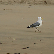 The sun is just coming up as this gull is walking toward the water and the rising sun.