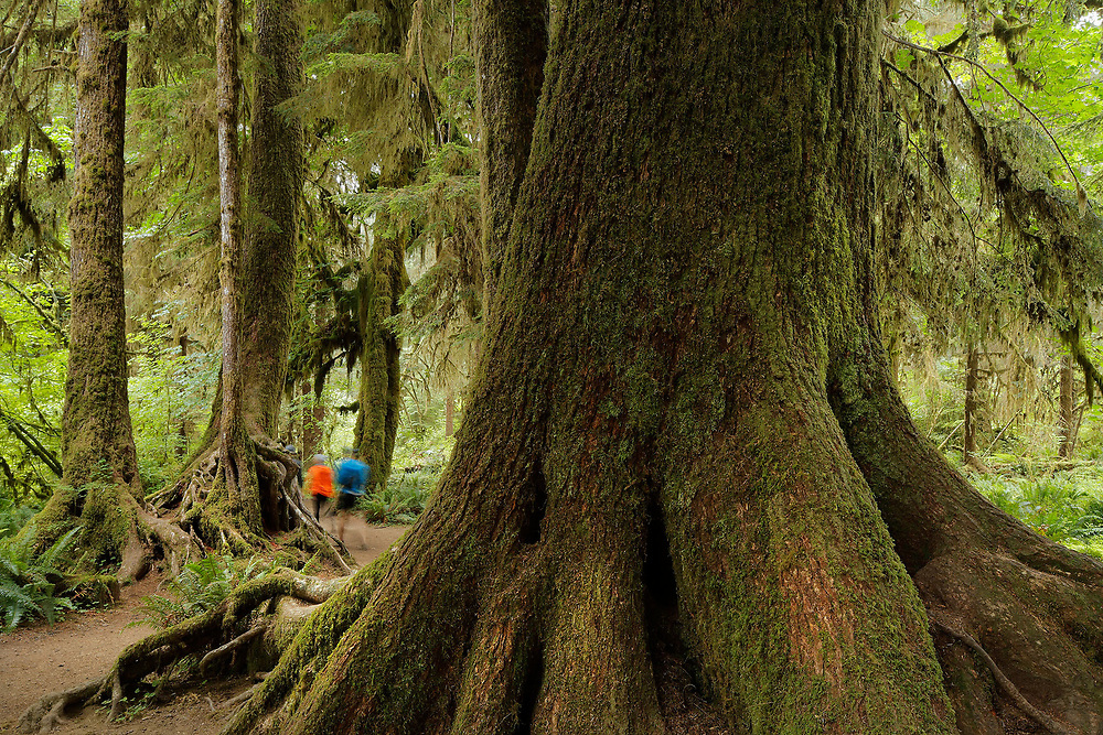 Pacific Old Growth Rainforest, Olympic National Park, WA.