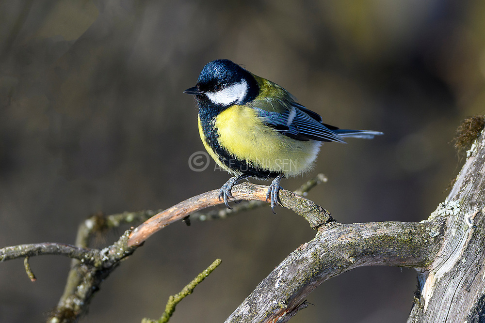 Great tit (Parus major) from Pasvik, Finnmark, Norway in March.