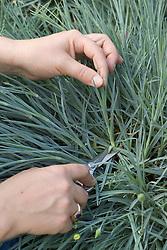 Taking dianthus cuttings - choosing a non-flowering stem