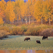 Moose (Alces alces) grazing at Oxbow Bend in Grant Teton National Park during the fall.