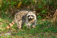 Raccoon (Procyon lotor), Arthur R Marshall National Wildlife Reserve - Loxahatchee, Florida, USA.    Photo: Peter Llewellyn