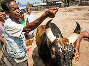 08 FEBRUARY 2014 - PHAWONG, SONGKHLA, THAILAND: Men get their bull ready for a bullfight in rural Songkhla province, Thailand. Bullfighting is a popular past time in southern Thailand. Hat Yai is the center of Thailand's bullfighting culture. In Thai bullfights, two bulls are placed in an arena and they fight, usually by head butting each other, until one runs away or time is called. Huge amounts of mony are wagered on Thai bullfights - sometimes as much as 2,000,000 Thai Baht ($65,000 US).   PHOTO BY JACK KURTZ