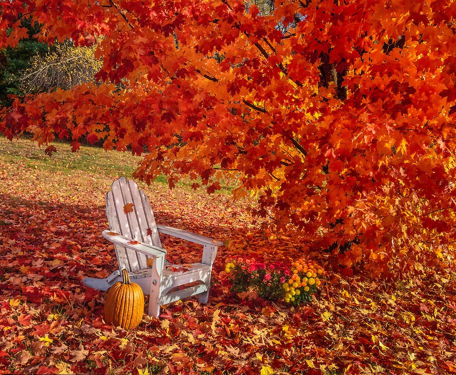 Sugar maple leaves in fall, adirondack chair & pumpkin with mums, Bristol, NH