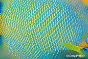 queen angelfish, Holacanthus ciliaris, close-up of scale pattern, Gallows Reef, Belize Barrier Reef, Meso-American <br /> Barrier Reef System, Belize, Central America ( Caribbean Sea )