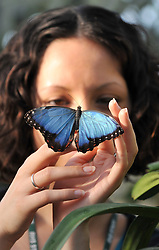 © London News Pictures. 2011/01/18 .Rebecca Rowss (25) watches  a  Blue Morpho butterfly as it lands on her hand. The 'Butterflies in the Glasshouse' exhibit opens at RHS Wisley, Woking, Surrey today (Tues). 100's of tropical butterflies have been released amongst the tropical plants and flowers.   . Picture credit should read Stephen Simpson/LNP