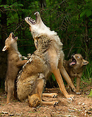 """WILDLIFE including """"Howling Lesson"""""""