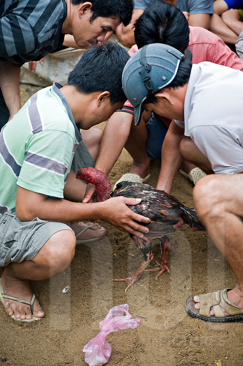 Vietnamese men take care of a rooster while the fight is interrupted.  Khanh Hoa area, Vietnam, Asia