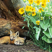 Red Fox kits at a den entrance near Arrowleaf Balsamroot flowers in Montana. Captive Animal