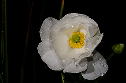 Mount Cook Lily, Ranunculus lyallii. Worlds largest buttercup
