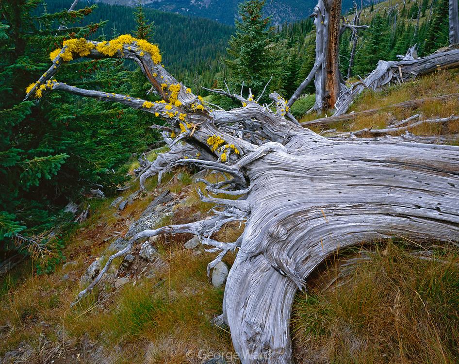Fallen Engelmann Spruce, Salmo-Priest Wilderness, Colville National Forest, Washington