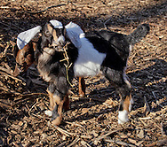 Cornwall- Baby dairy goats at Edgwick Farm on Feb. 4, 2012. The farm uses goat milk to make artisan cheeses. ©Tom Bushey / The Image Works