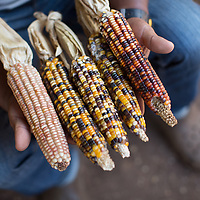 """Indigenous corn saved by Jesús Martínez """"it's best to  plant at least some indigenous corn and keep the seed, or you end up dependent on the seed companies""""."""