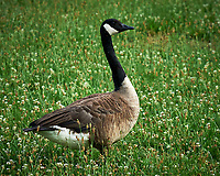 Canada Geese. Sourland Mountain Preserve. Image taken with a Nikon D3 camera and 200 mm f/4 macro lens.