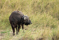 Yellow-billed Oxpeckers, Buphagus africanus, perch on the back and face of a Cape Buffalo, Syncerus caffer caffer, in Serengeti National Park, Tanzania.