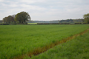 Field of newly growing wheat in classic English agricultural countryside. Wanborough, Surrey, UK.